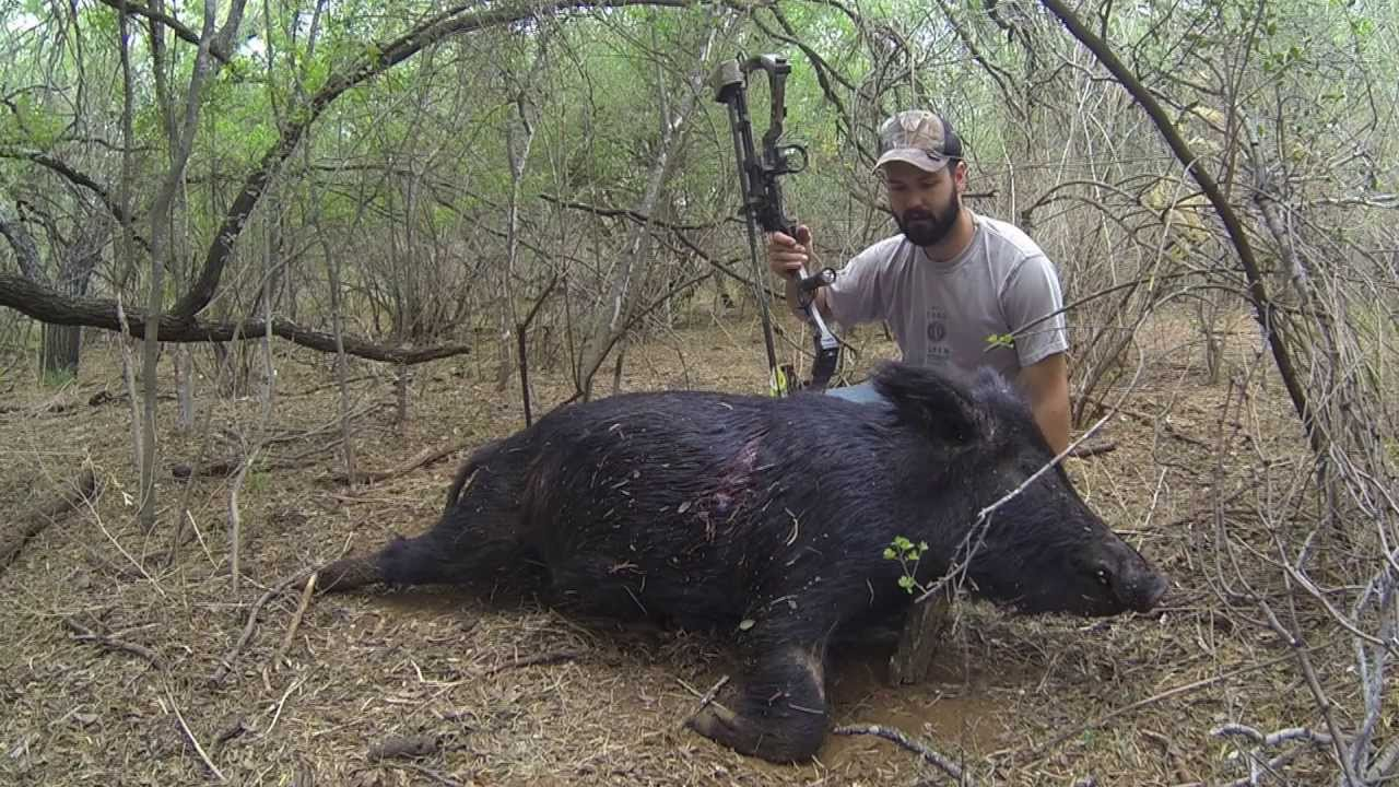 Bowhunting Heart Shot On Hog In Texas Part 1