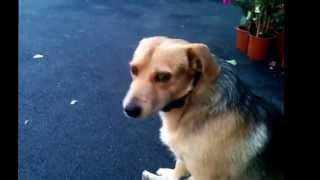 A Duo Of Dog And A Burglar Alarm! Duet Cu Caine Si Alarma De Efractie!