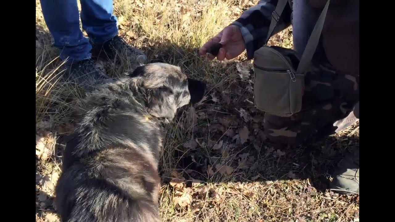 Cavage de truffes en Provence avec un chien truffier - YouTube