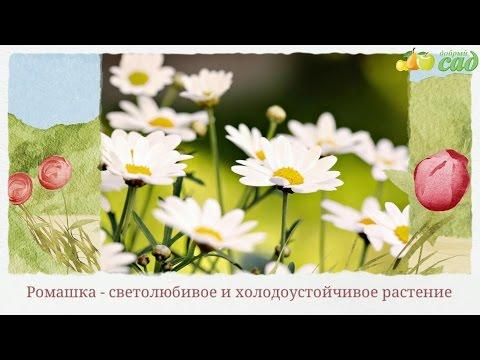Посадка ромашки - как правильно посадить ромашку