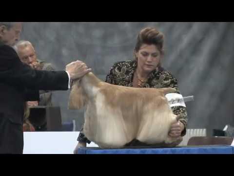 Best in Show - 2020 ASC Flushing Spaniel Show