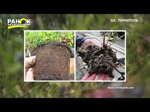 Суспільне. Тернопіль: Як доглядати за лохиною в домашніх умовах - у рубриці