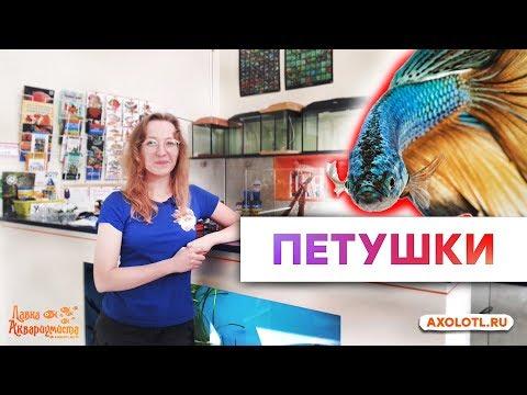 Рыбки Петушки. Все об одной из самых популярных рыбок в домашнем аквариуме.