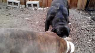 Bandog vs Pitbull  (DONT TRY THIS AT HOME)