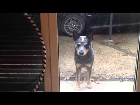 Australian cattle dog - Open the door, please