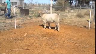 Jakes Proud Jazz X Milkman/Angus Bull Calf