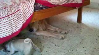 Pug And Golden Retriever  By Prabhu Raj