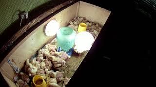 видео Как выращивать индюшат в домашних условиях, температурный и световой режим