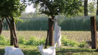 koza karpacka vs mirabelka