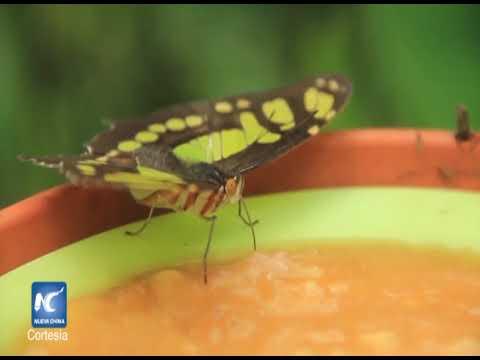 Exportación de pupas de mariposas en costa rica