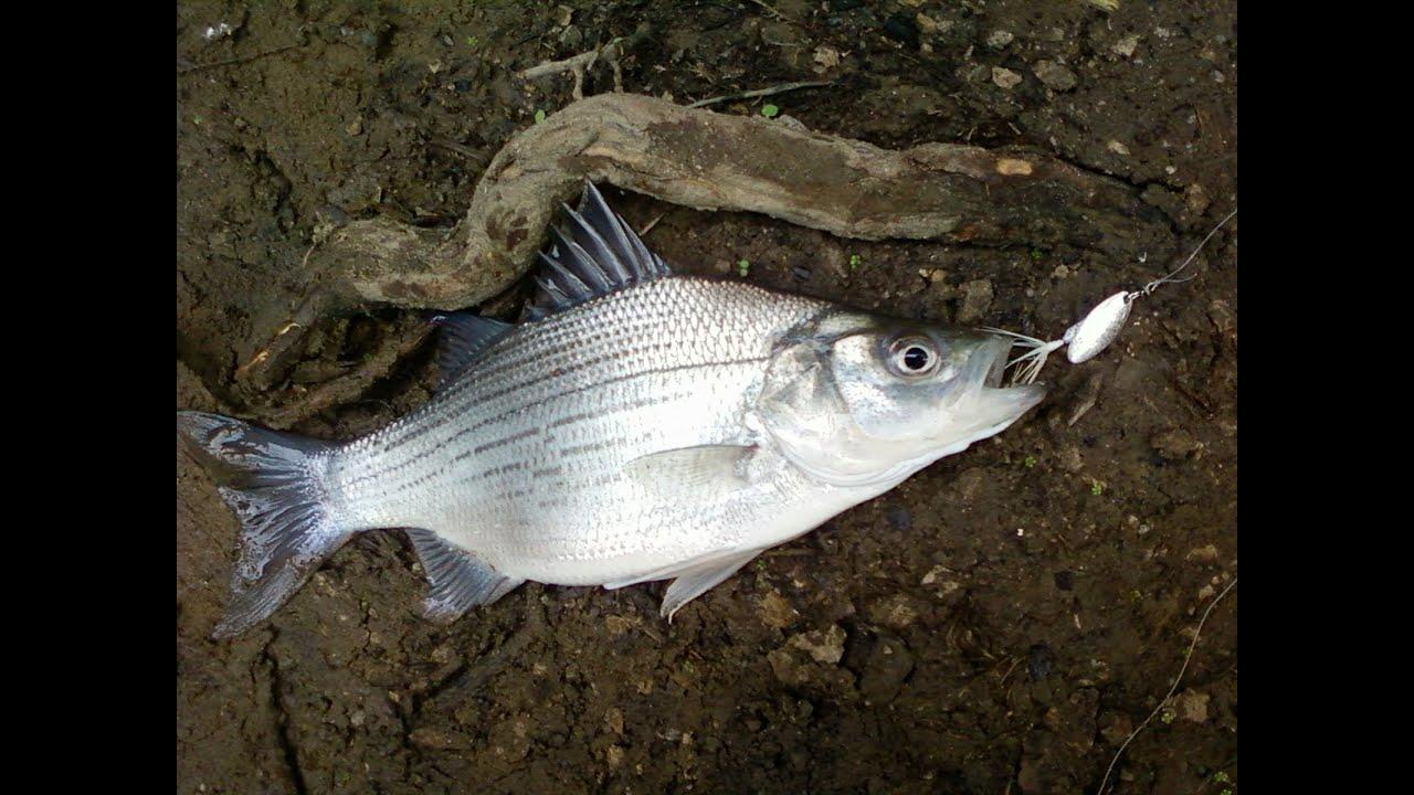 Jto 50 White Bass Honey Hole Fishing Youtube
