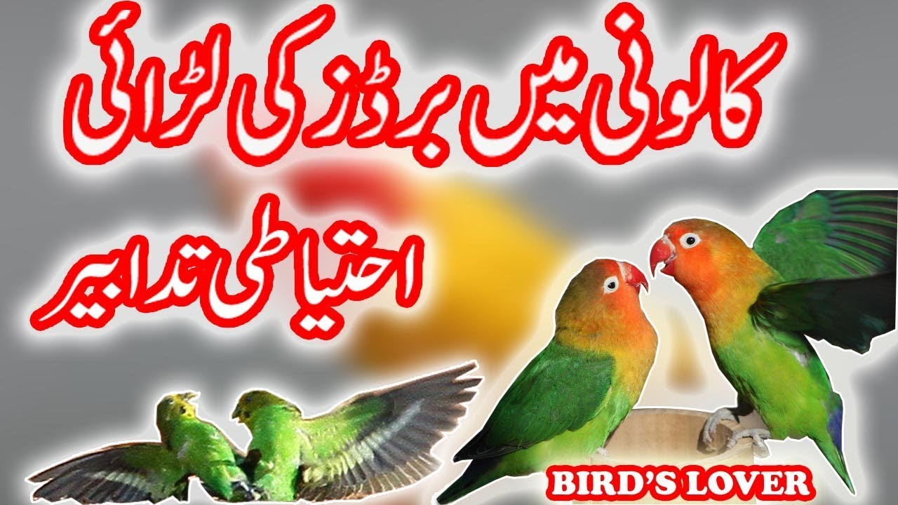 why birds fights in colony reasons and how to save your birds Video No  77