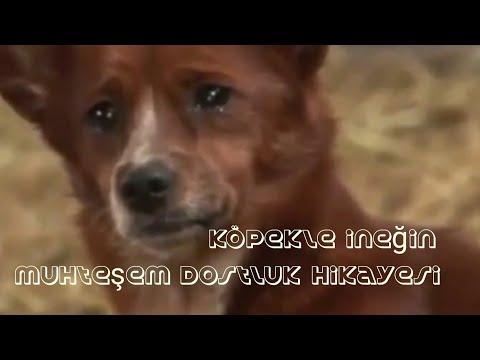 Köpek ile İneğin Muhteşem Dostluğu,Aşırı Duygusallık İçerir Köpeğin Gözyaşları Ve Sonraki Mutluluğu