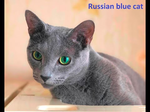 Русская голубая / Russian blue cat