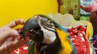 Попугай ара - ласковая птица