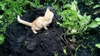 Как котята ходят в туалет на грядки с картошкой.