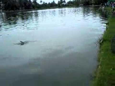 ปลาบึก หนักเกือบ 100 โล ที่บ่อสวนธน