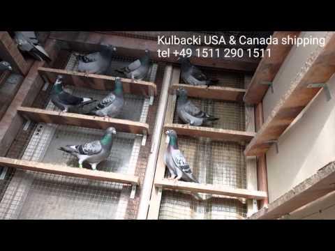 USA & CANADA SHIPPING KULBACKI CHAMPION PIGEONS