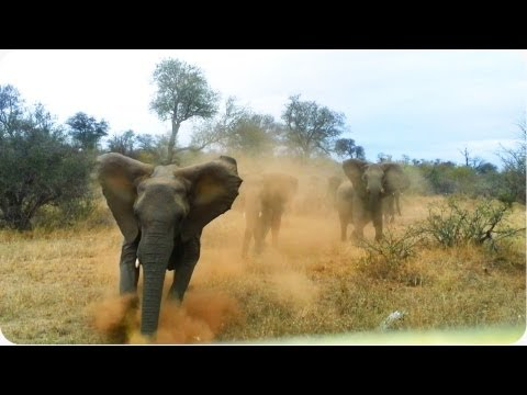 Elephant ATTACKS Safari Jeep | EXCLUSIVE Footage [Never Before Seen]