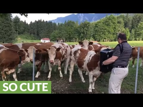 Cows listen to accordion music, absolutely love it!