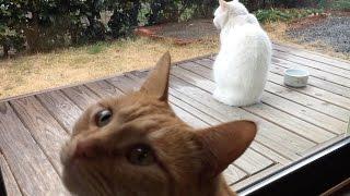 兄猫チロが大好きな「ひろし」。 僕も外行きたいアピールに負けて、窓開...