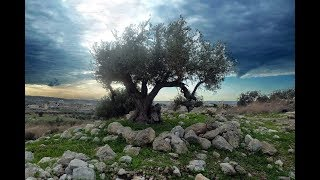 Who is grafted in?  Paul's Romans 11, explained in Wisdom of Solomon.