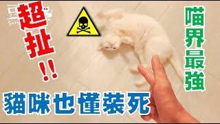 【豆漿 - SoybeanMilk】史上第一隻! 會中槍裝死的貓咪!!!