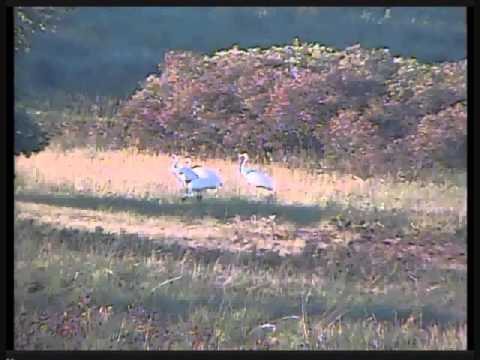 Returning Whooping Cranes, Class of 2013