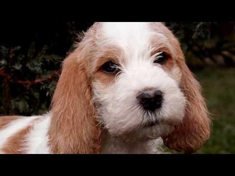 Малый вандейский бассет гриффон. Веселая,дружелюбная собака. Хороший компаньон для детей