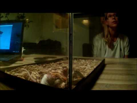 rattenslang korenslang snelle killer springer muis corn snake