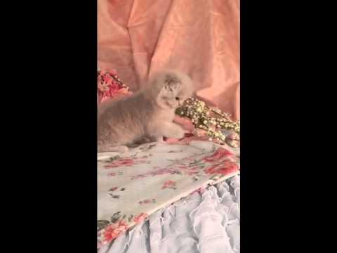 Adorable Persian Fold Playing!