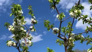 !!! Cherry Pollinators !!!
