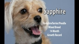 Yorkie-poo Sapphire's 14 Month Growth Chart