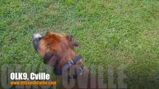 Off Leash Heeling With Dive Bombing Dogs:-) | Dog Training Harrisonburg