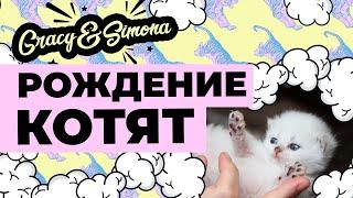 Рождение котят у Невской Маскарадной кошки Киары ( 64 день беременности )