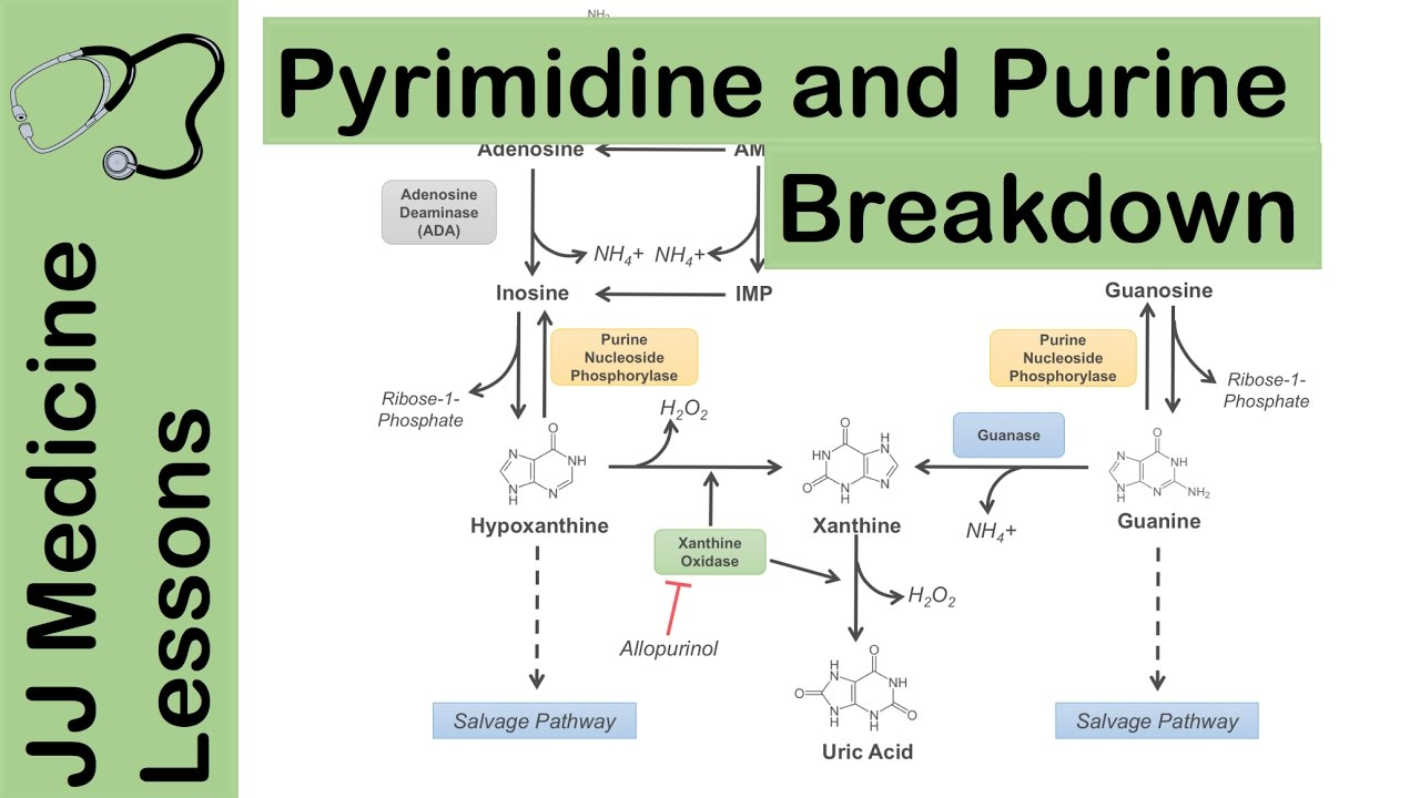purine and pyrimidine catabolism pathway nucleotide breakdown