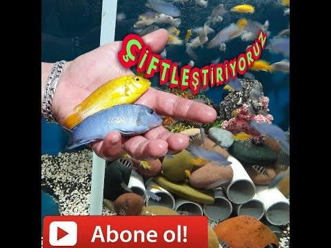 BALIK ÇİFTLEŞTİRME DENEYİ, Akvaryum Balıkları, Ciklet Balıkları, Cichlid Fish