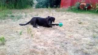 6 Months Black German Shorthaired Pointer Lazy Playing  2/2