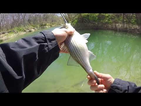 Taylor White Bass Run 2019  San Gabriel River , Texas Part 3