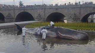 Ballena enormes se ha metido en río  de Madrid اكتشاف حوت في نهر مدريد العاصمه