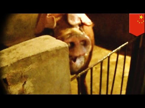 Man-eating pig kills farmer and takes a chunk out of his leg