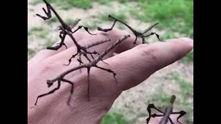 How cool are these real life stick insects? 😱