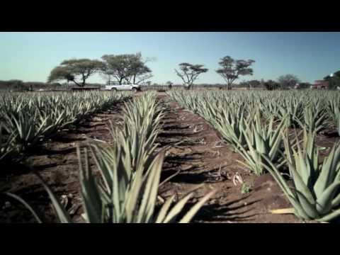 Aloe Vera Organic Cultivation + Production for liquid, juice, gel & powder at Aloway Africa