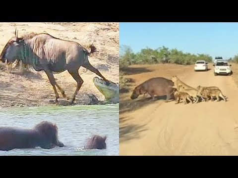 Best Hippo Sightings of All Time