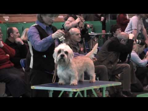 Dandie Dinmont Terriers at Crufts 2010 - Postgraduate Dog