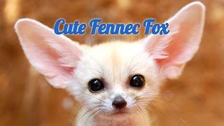 Смешные животные. Лиса фенек    Funny animals. Fennec fox