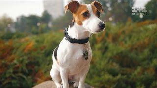 Маленькі, але безстрашні: собаки породи джек-рассел-тер'єр