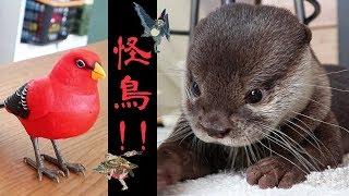 カワウソ  コタロー 歌う鳥が怖くて大泣きしてしまう Kotaro the Otter Scared of the Singing Bird and Crying in Dad's Arms