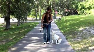 Deaf Dog Training Mini Aussie Snowy River Dogtra Remote Pager