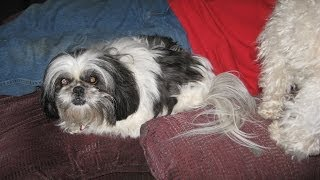 Loud Adult Female Shih Tzu -- Like Trying To Talk!!